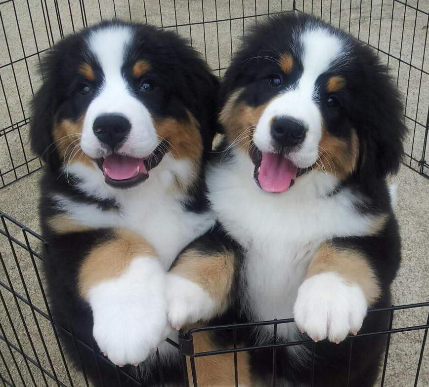 Best Bernese Mountain Dog Breeders